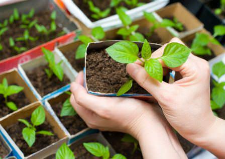 При выращивании рассады перца очень важно ее вовремя подкармливать необходимыми удобрениями