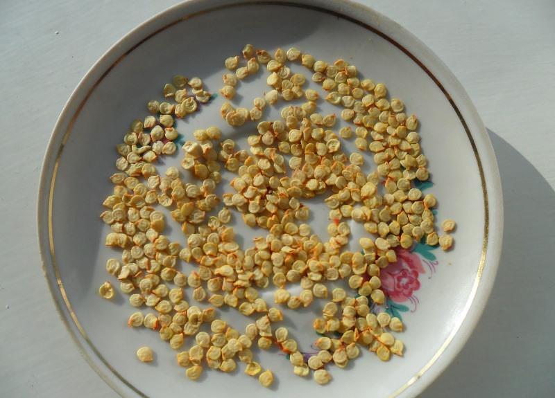 Первый этап выращивания крепкой рассады перцев – правильный выбор семенного материала