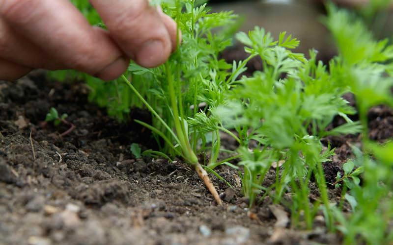 Петрушка нуждается в прореживании и удалении сорняков, которые вытягивают из земли питательные вещества