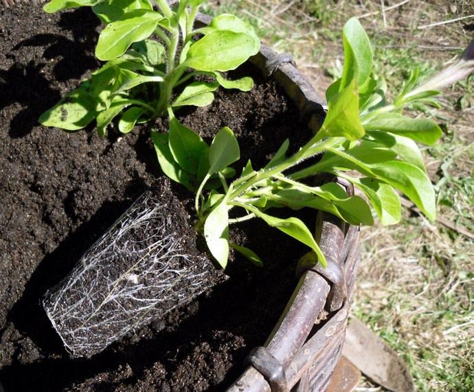 Наиболее благоприятные дни для того, чтобы садить семена петунии, напрямую зависят от лунных фаз