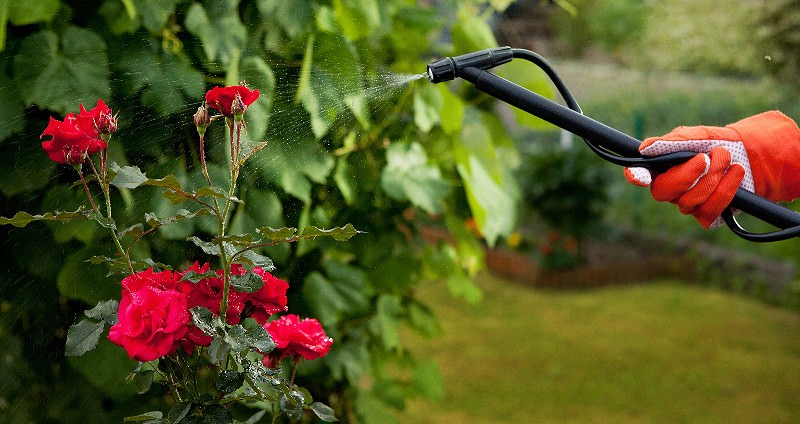 Перед началом зимы розу, выращиваемую в домашних условиях, как и садовую следует обработать