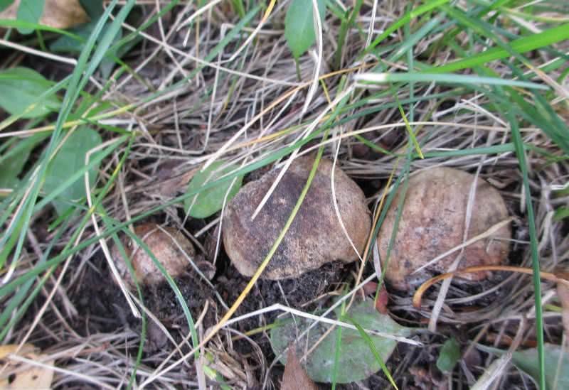 Шляпка у молоденьких грибов выпуклая, по мере роста и взросления она становится прямой