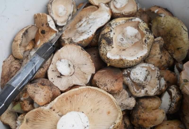После обнаружения подтопольников аккуратно убирают листья и срезают грибы при помощи ножа