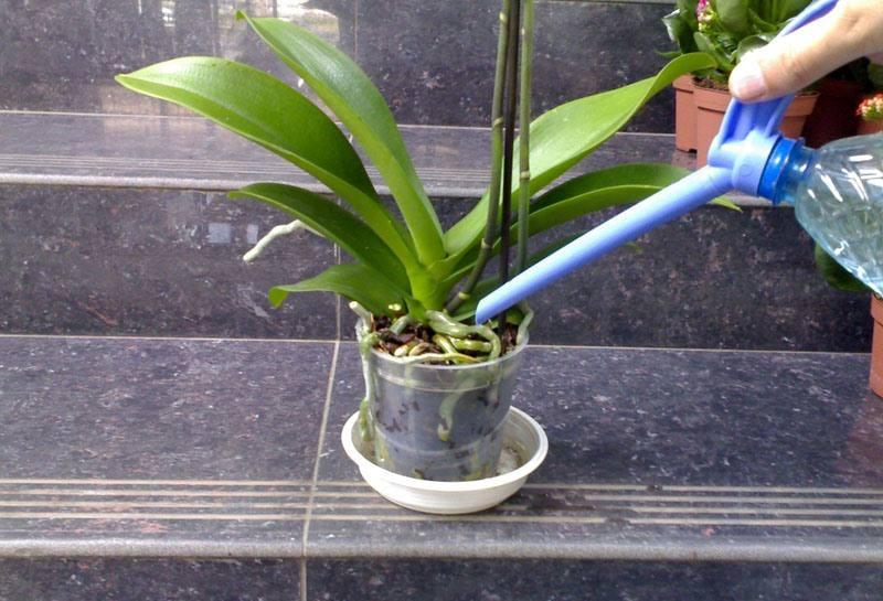 Полив с помощью лейки. Вода ни в коем случае не должна попадать на саму орхидею, особенно в пазухи листьев и точку основания их роста