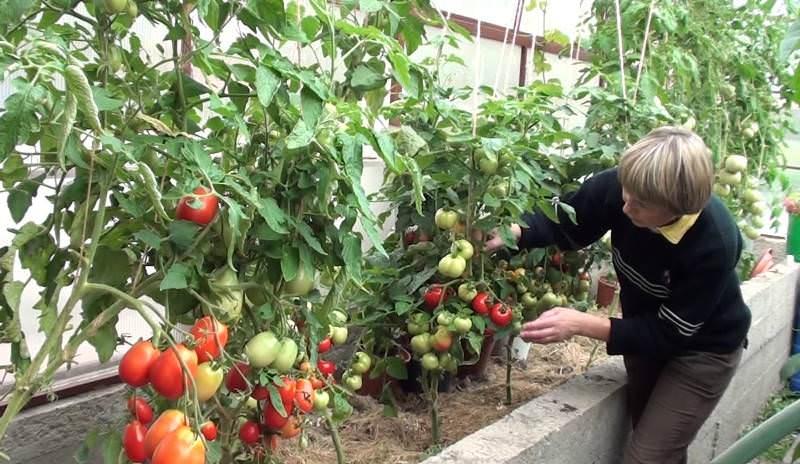 При выращивании томата в тепличных условиях очень важно периодически производить встряхивание цветочных кистей, что улучшает процесс опыления и способствует повышению урожая