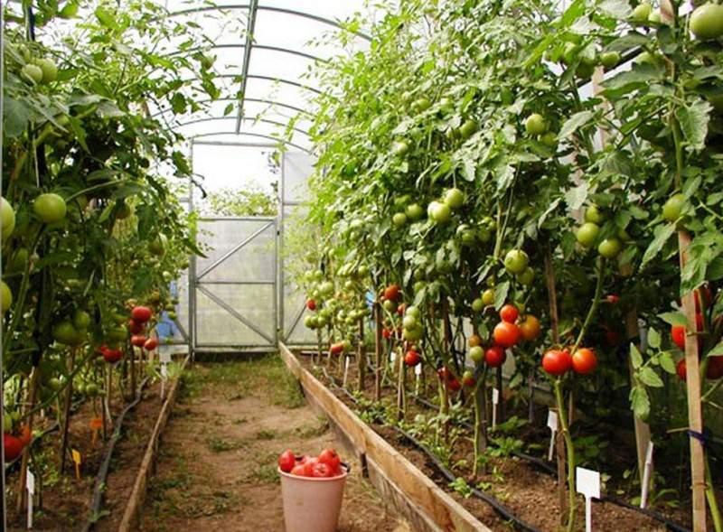 Уровень урожайности томата «Санька» при выращивании в пленочных теплицах составляет не менее 12–14 кг с каждого квадратного метра полезной посадочной площади участка