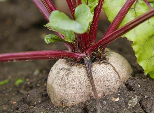 Выращивание столовой красной свеклы популярно среди огородников
