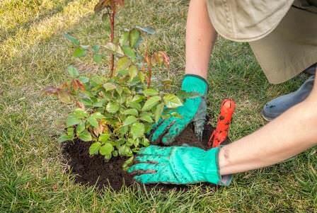 Посадка роз весной – работа не из тяжелых, но все же требует соблюдения некоторых нюансов