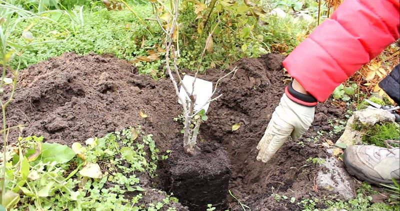 Выбирайте растения только с закрытой корневой системой и при посадке сохраняйте землю возле корня