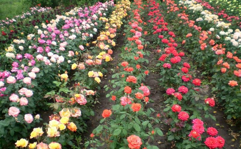 Розы получают влагу из глубоких слоев земли, поэтому не нуждаются в частом поливе
