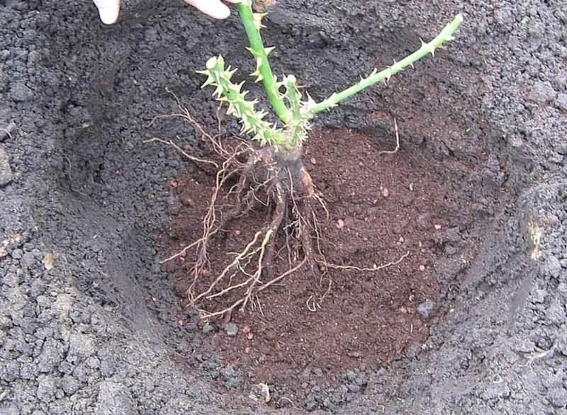 Корневую шейку следует разместить на 1 см ниже уровня почвы, иначе роза не переживет зиму