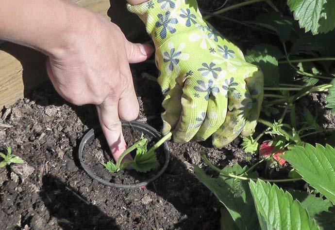 Размножение клубники Фестивальной и Фестивальной ромашки следует осуществлять ежегодно