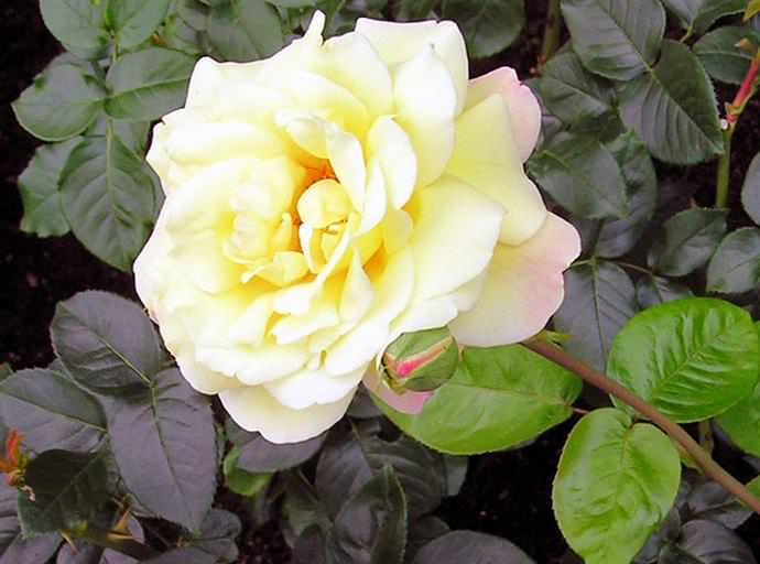 В зависимости от условий произрастания и степени распускания бутоны розы Глории Дэй изменяют не только цвет, но и аромат