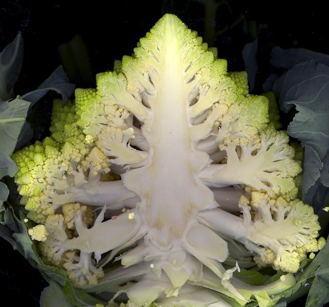 В некоторых исторических очерках упоминается, что коралловую капусту употребляли в пищу еще древние римляне, причем соцветия они ели сырыми перед пиром - якобы так лучше усваивался алкоголь