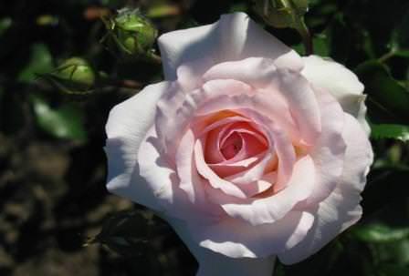 Розы Пинк интуишн нравятся всем, кто хотя бы раз увидел их