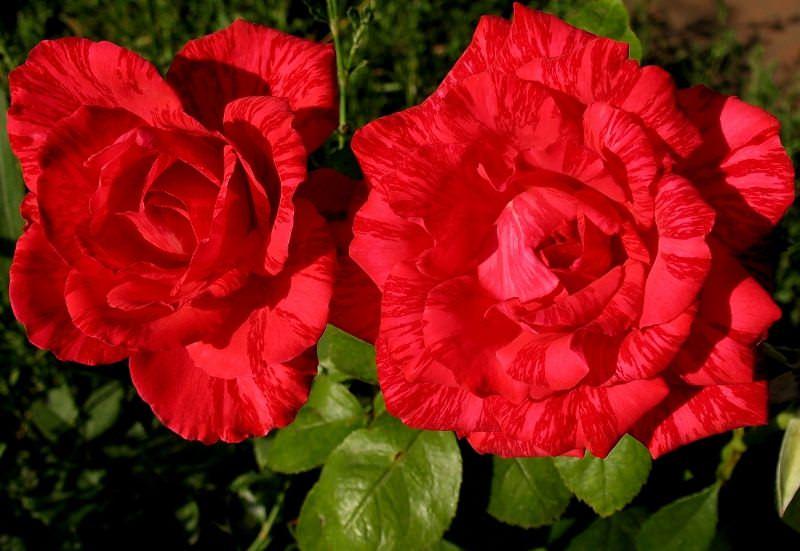 Red Intuition – уникальное растение, отличающееся особыми бутонами
