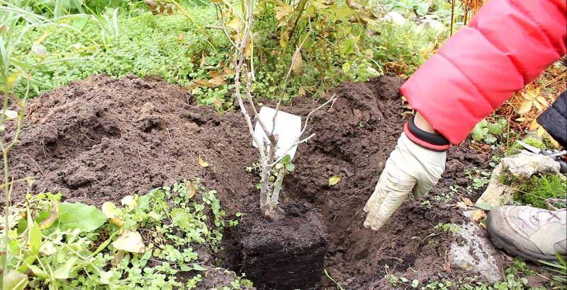 Саженец устанавливают посередине ямы, после чего его корни аккуратно выпрямляют и присыпают землёй