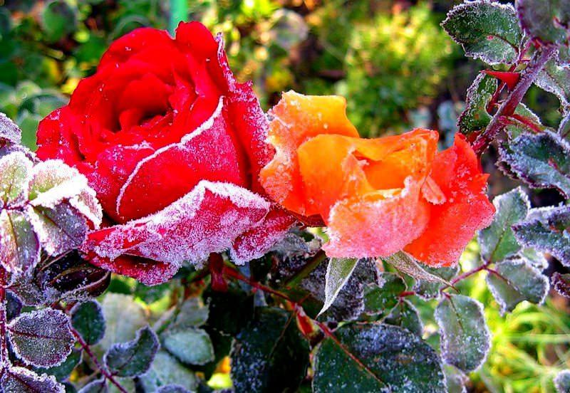 Роза Аква хорошо растёт на плодородном грунте, переносит заморозки до -10 °С