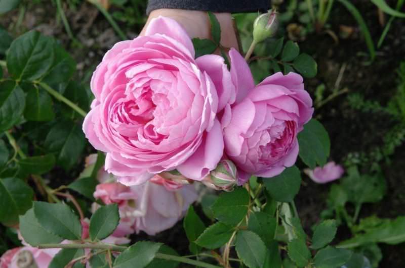 Особенность розы Аленушка состоит в том, что на одном побеге формируется не один, а три соцветия, и распускаются они один за другим