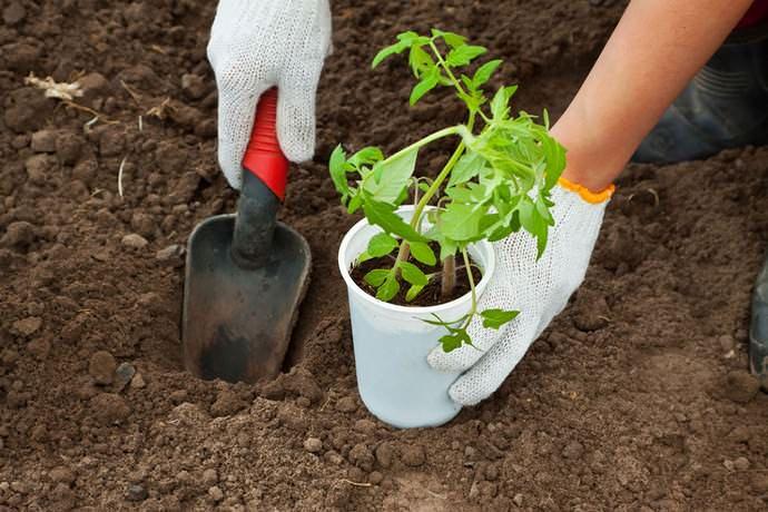 Рассаду томатов следует высаживать только тогда, когда минует опасность заморозков
