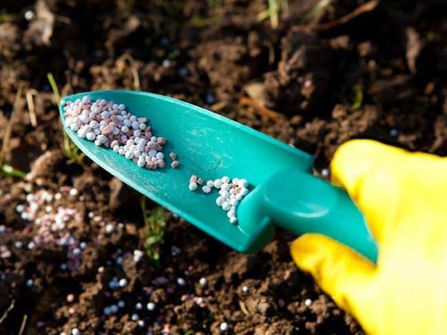 На стадии активного наращивания вегетативной массы, ранней весной, предпочтение следует отдавать подкормкам азотсодержащими удобрениями