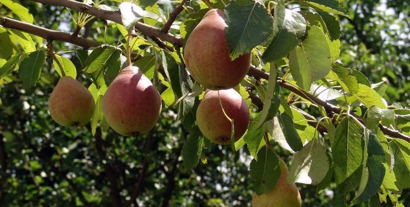 Плоды грушевого дерева – настоящая сокровищница, в которой хранится большое количество полезных витаминов, микро- и макроэлементов