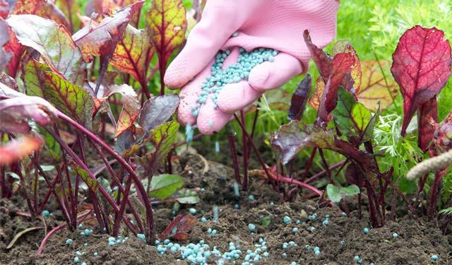 При выращивании свеклы широко применяется как корневое внесение удобрений, так и внекорневые подкормки