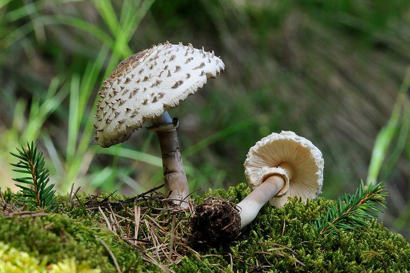 Опытные грибники очень ценят грибы-зонтики и считают одними из лучших