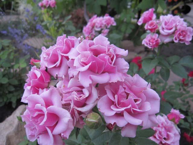 Роза Санта Моника интересна прежде всего своим хаотичным расположением лепестков: цветок больше похож на петунию, чем на розу