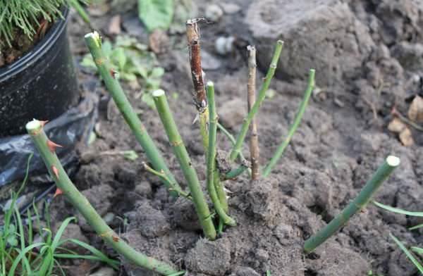 Обрезка роз Глория Дэй представляет собой полное удаление засохших или ослабленных побегов весной и в течение лета