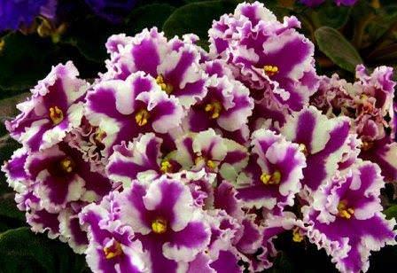 Сенполию заслуженно называют королевой комнатных растений