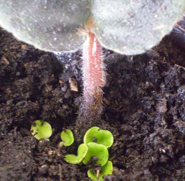 Ежегодно взрослые экземпляры сенполии пересаживаются в свежий субстрат