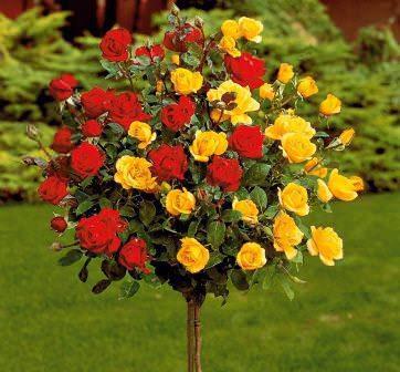 Штамбовые розы не являются обособленной садовой группой