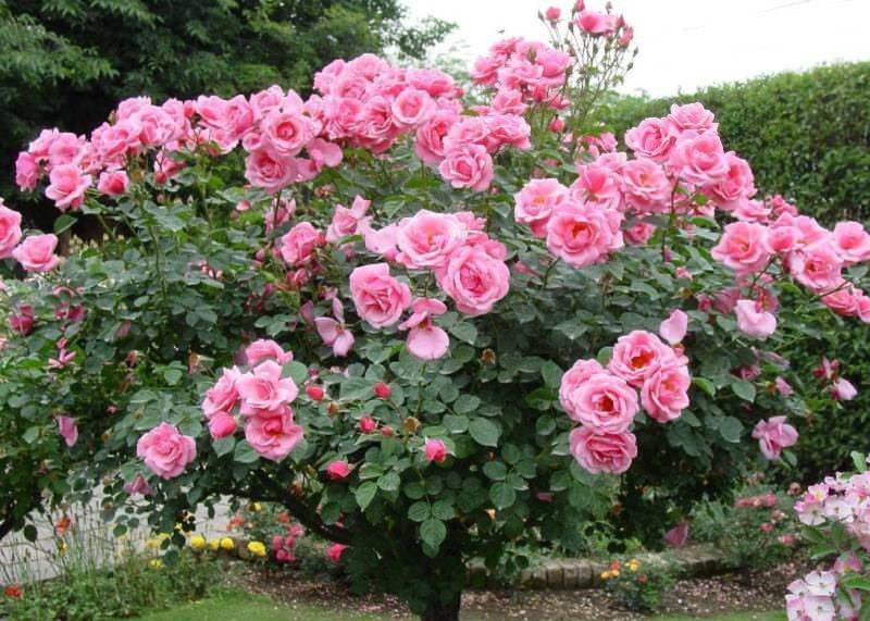 Штамбовые розы создаются с помощью специальных приемов с использованием подвоя