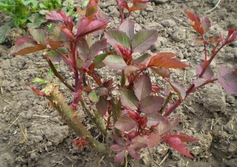 Для высадки роз в открытый грунт оптимальным считается период с конца апреля до середины мая