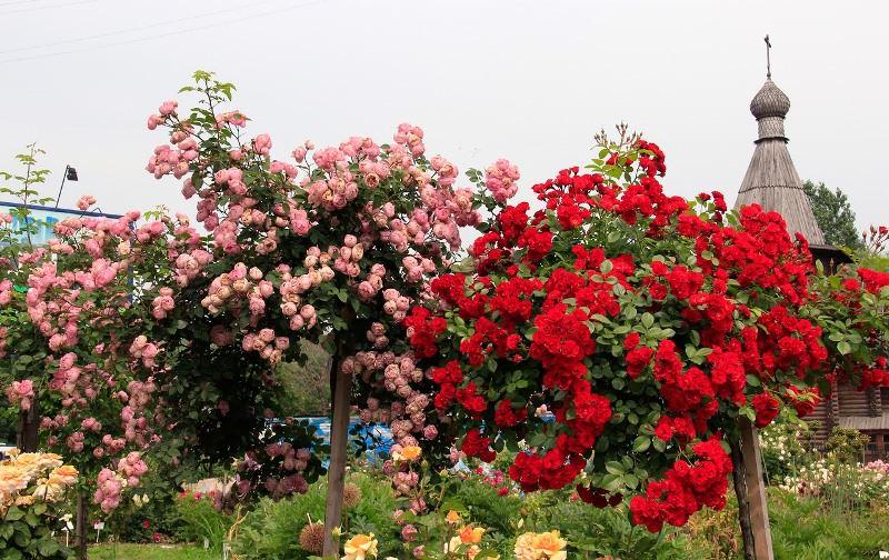 Главной ценностью штамбовой розы является ее пышная крона округлой формы