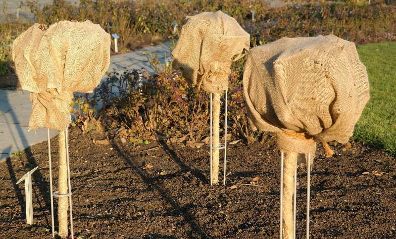 Подготовка штамбовых роз к зимовке является очень важным процессом для их сохранения