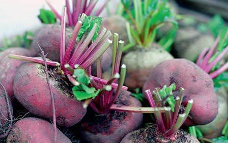 Свёкла является одной популярных овощных культур