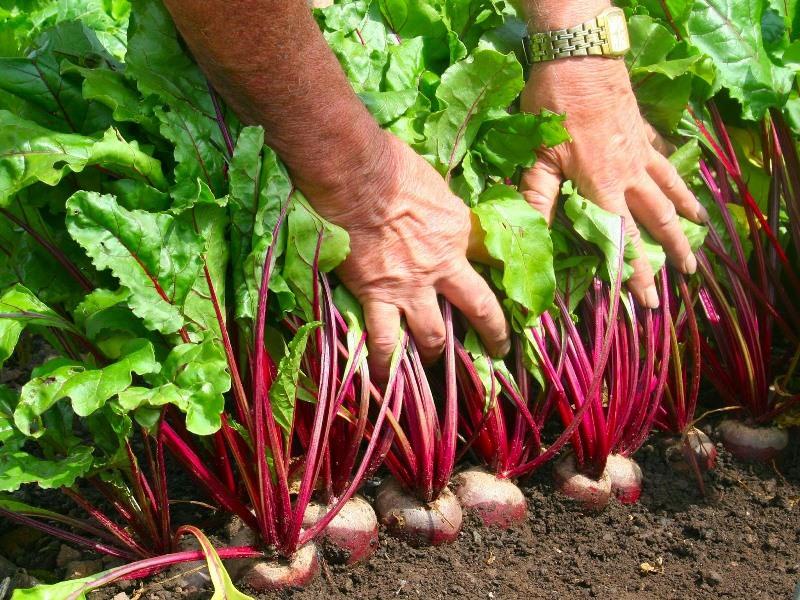 Хороший урожай можно собрать в конце августа или начале сентября, спелая мякоть характеризуется отличным вкусом и нежным ароматом