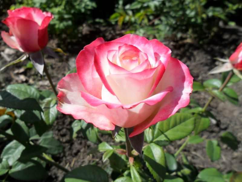 Обильное цветение кустов сорта Свитнесс длится месяц – с конца июня по конец июля