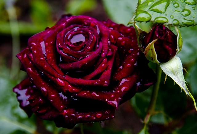 Сорт Черный принц заслужил особое внимание и популярность благодаря очень ароматным и высокодекоративным цветкам