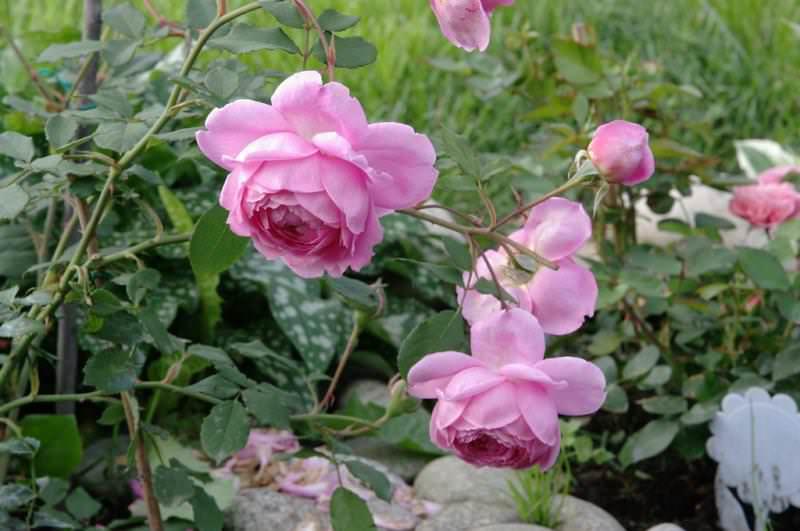 Идеально, если прямые солнечные лучи будут освещать кусты утром и вечером, а в полуденный зной розы будут защищены ажурной тенью растущих невдалеке растений