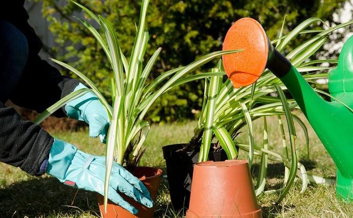 Пересадку и посадку хлорофитума рекомендуется осуществлять ранней весной