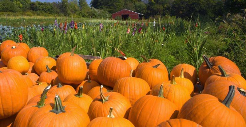 В зависимости от сорта тыква может быть готова к уборке как в конце лета, так и осенью