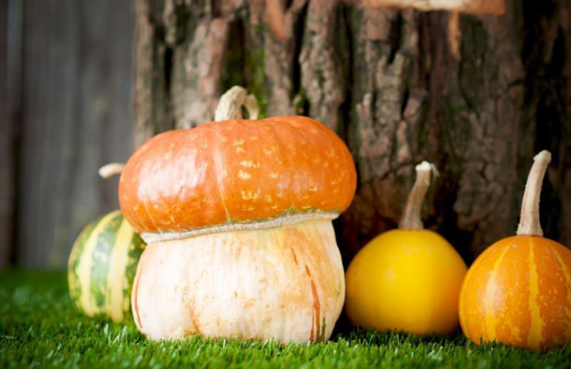 Декоративные виды тыквы не употребляются в пищу