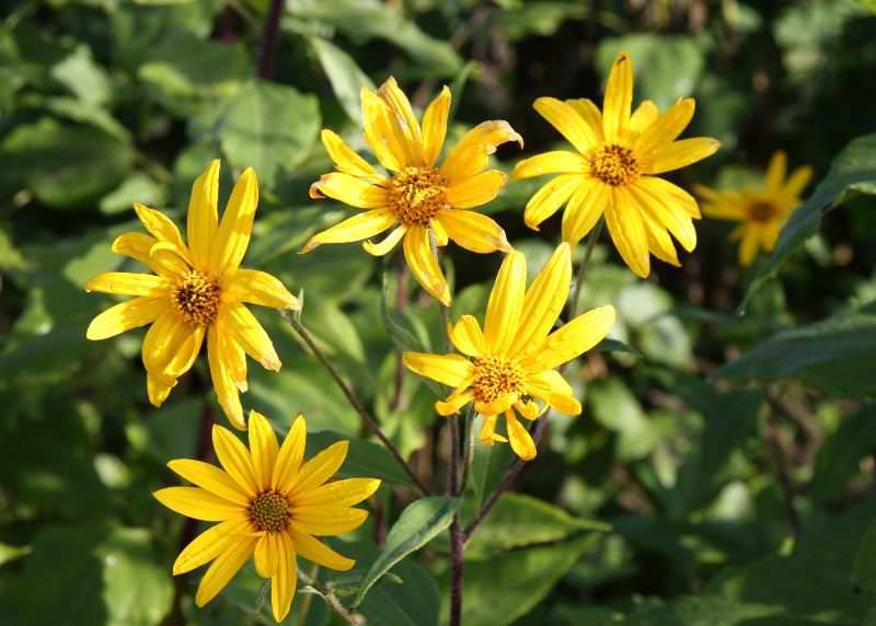 Во время цветения топинамбур похож на родственный подсолнух