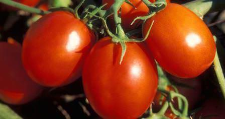 Ракета – популярный сорт помидоров