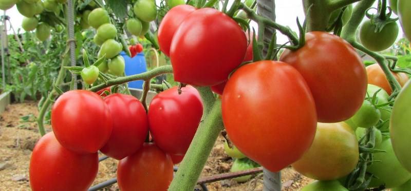 Соцветия закладываются после 6 листа, в каждом из них присутствует от 3 плодов