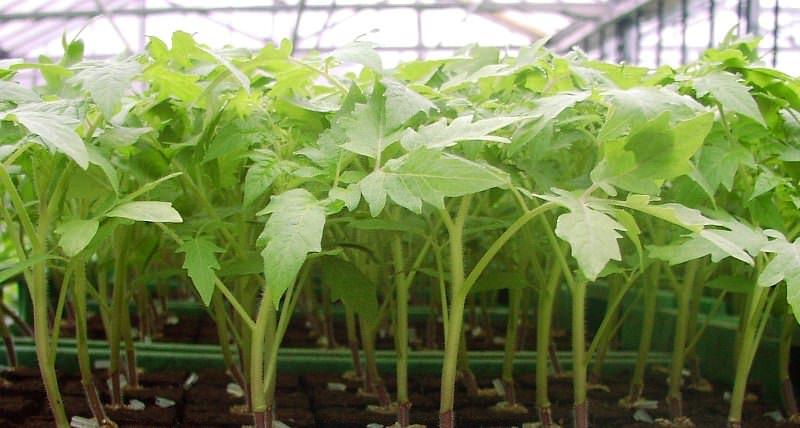 Посев на рассаду семян сорта Ракета осуществляется в конце марта – начале апреля