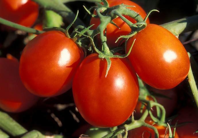 Сроки, когда сажать помидоры на рассаду в 2017 году, кардинально не отличаются